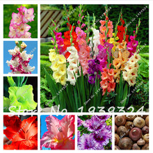 Hot sale!!Rare Gladiolus Bulb,Free shipping cheap perfume gladiolus Bulb, mixing different color - 2 gladiolus Bulb