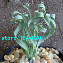 Hot Selling Width Foliage Spring grass Seeds Garden Rare Plant Interesting Balcony Plant Potted Spiral Grass Bonsai Seeds 100PCS
