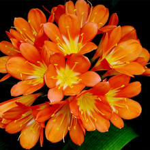 freesia seeds potted seed freesia flower seed variety complete -50 pieces / bag