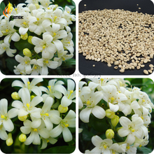 2016 New Murraya Paniculata Orange Jessamine Evergreen Plant, 5 Seeds,  satinwood lakeview jasmine white fragrant flowers E3529