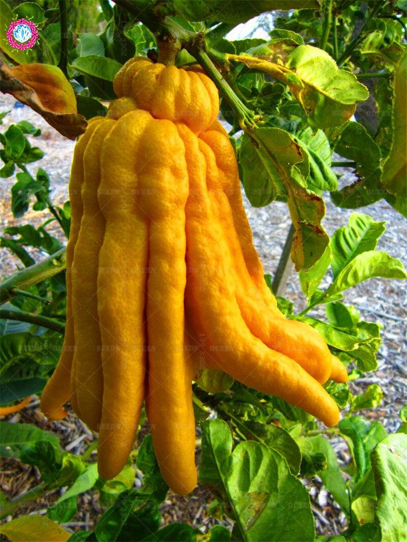 Buddhas-hand-citrus-5-768x1024