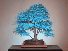 20 pcs/bag maple bonsai tree rare sky blue japanese maple seeds Balcony plants toronto maple leafs for home garden Flower(China)