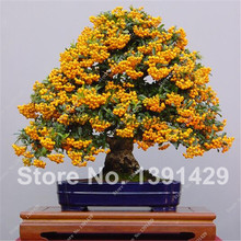 New Arrival !!! Rare Yellow Ash Tree Seeds Indoor Bonsai Green Courtyard Plant for Home&Garden - 10 pcs Free Shipping