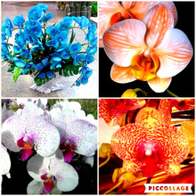 phalaenopsis orchid seeds plant Indoor desktop flowers, Choose a variety of colors butterfly orchid seedlings about 30 pcs h85