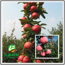 Direct columnar apple apple seed high yield new varieties of fruit taste good base spot 5 seeds / pack