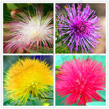 2017 Lillypilly Flowers Seeds 100PCS mixed colors seeds Australia Rare Flower Easy to plant.Garden Home Bonsai