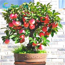 Trial product Bonsai Apple Tree Seeds 30 Pcs apple seeds (used wet sand sprouting )fruit bonsai garden in flower pots planters(China)