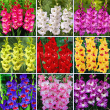 2pcs Perennial Gladiolus Flower Bulb (not seeds) Rare Sword Lily Seeds for HOME garden planting Aerobic potted plants decoration
