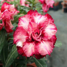 1 Pcs 100%  True Red And Pink Petals Mixed Desert Rose Seeds Garden Home Bonsai Seeds Authentic Flower Seeds Hot Sale