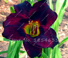 100 Hybrid Mix Black Daylily Flowers Seed, Rare Colour Hybrid Hemerocallis Seeds - New Day Lily Seed Packet for diy home garden