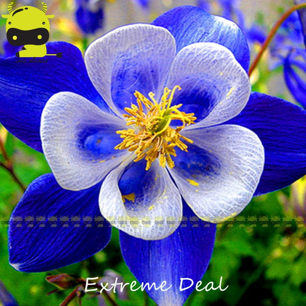 Aquilegia blue columbine perennial flower promotion shop for blue and white double color columbine bonsai seeds 50 seedspack aquilegia herbs garden ornamental flowers dhlflorist Images