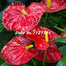 Rare Rainbow Anthurium Seeds Indoor Potted Hydroponic Flowers Diy Plant Bonsai Seeds Anthurium Andraeanum 100 Seed / Packing