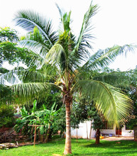 10 Pcs Coconut tree Seeds Giant Miracle Fruit Tree High Nutrition Juicy Fruits Amazing Perennial Woody Plants DIY Home Garden