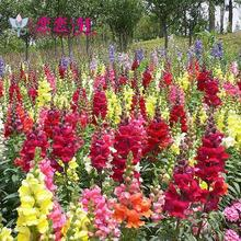 Goldfish perennial flower seeds leading flower pot balcony multicolor Yi Xuan Loving planting 10 seeds