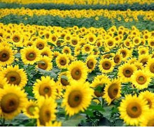 Edible sunflower seeds sunflower seeds flavor in bulk 20seed.bag