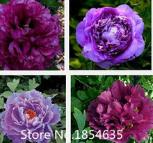 Luoyang Light Pink Peony Tree 'Feng Du' Flower Seeds. Professional Pack, 20 Seeds / Pack, Light Fragrant Great for Garden Plant