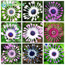 Hot Selling Rare 5 Colors Available Hot Selling 100 PCS Osteospermum Seeds Potted Flowering Plants Blue Daisy Flower Seeds(China)
