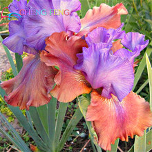 100pcs/bag Pink Iris Seeds Bearded Iris Seeds Rare Bonsai Phalaenopsis Orchid Flower Seeds Nature Plants For Home Garden Seed