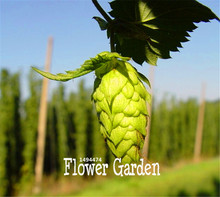 Loss Promotion!10/BAG HOPS * Humulus lupulus * Seeds * Brew Your OWN BEER Today * Returns Year After Year - Plants Form,#OIY3AM(China)