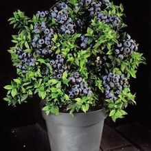 20seed/bag highbush blueberry fruit seeds dwarf blueberry seed North and South