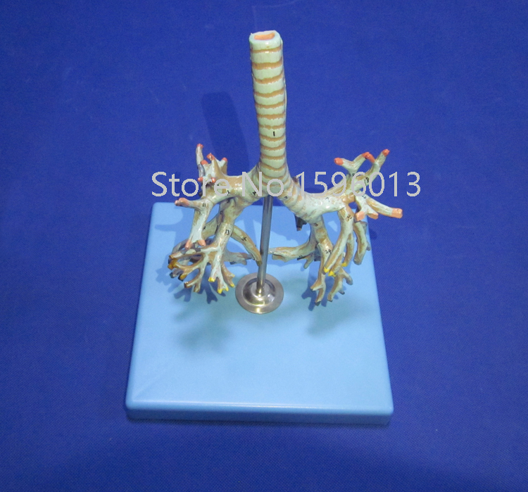 Vivid Anatomical bronchial tree model, human anatomical model<br><br>Aliexpress