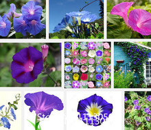 Promotion 500 seeds / pack, Dark Blue Morning Glory Seeds Ipomoea Tricolor 'Heavenly Blue' Very Easy to Grow flower seeds Novel
