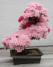 Bonsai Tree japanese sakura seeds. rare Japanese cherry Blossoms flowers seeds in bonsai,pink Prunus Serrulata15 seeds/pack