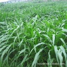 sky 20 seeds/bag grass seed corn in Mexico perennial ryegrass seed alfalfa grass north and south shipping