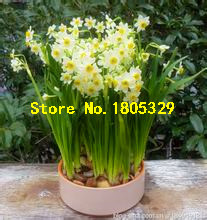 Bonsai Seeds of Aquatic Plants Double Petals Pink Daffodils Seed for Home Garden 100 Pcs/Lot(China)