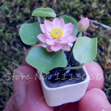 2 Pcs Hydroponic Flowers Small Wter Lily Seeds Mini Lotus Seeds Bonsai Seeds Set Hydrophyte(China)