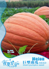 1 Original Pack, 6 seeds / pack, Atlantic Giant Pumpkin Seeds #NF179(China)
