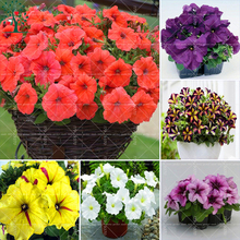100PCS Really Bonsai Petunia Seeds Beautiful Petunia flower Seeds Potted Plant For Garden Easy To Grow