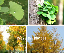 Big sale Free shipping, huge ginkgo seeds tree seeds, a packet of seeds 20PCS, Canada Millennium ginkgo