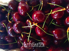 Time-Limit!!Direct US Cherries cherry tree seed seed dwarf cherry tree fruit seed South sementes da fruta,5 Pcs/Lot,#KL3Z7G
