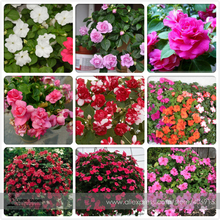 Mix Impatiens walleriana 9 Colors Busy Lizzie Balsam Perennial Flower Seeds, Professional Pack, 20 Seeds / Pack, Bonsai Sultana