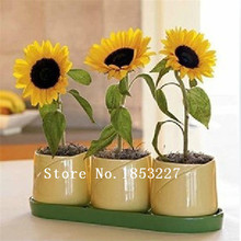 50 Ornamental Flower seeds flower pot planting sunflower seeds (large flower okra) seeds Free shipping