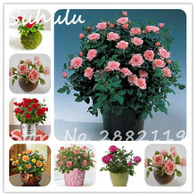 Cheap 200pcs Mini Rose Seeds Rare C-c Rose Beautiful Perennial Flower Seeds eirloom Plants Chinese Rose Flowers Mix Colors Easy