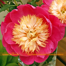 Paeonia 'Bowl of Love' Tree Peony Seeds, 5 Seeds/Pack, Big Blooms Bright Pink Peony Flower Seeds Bonsai Ornamental Plants