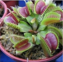 2017 Rushed New Arrival Small Temperate Happy Farm 50 Seeds/pack Giant Clip For Flytrap Seeds Garden Decoration Bonsai(China)