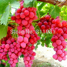 Hot Selling 20pcs/lot Rare Species Grape Seeds Giant Red Grapes Bonsai Fruit Seeds DIY Home Garden Potted Plant Fruit Tree(China)