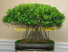 10 china banya tree bonsai seeds Ficus Microcarpa Tree Seeds Sementes Bonsai Ginseng Banyan Garden Tree Outdoor Planters