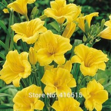 Day Lily Daylily Seeds Hemerocallis Stella de Oro - Reblooming Seeds Hemerocallis Fulva Day-lily Flower Seeds Ground Cover