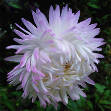 Hot Selling White Purple Callistephus Chinensis Flower Seeds Balcony Potted Bonsai Flower Seeds Aster Seeds 120PCS