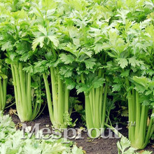 Free Shipping 100PCS Celery Seeds -Organic, Good for Blood Pressure,Fragrant Vegetable Seeds for home garden planting Non-Gmo(China)