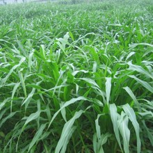20 seeds/bag grass seed corn in Mexico perennial ryegrass seed alfalfa grass north and south shipping