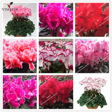 True Cyclamen Seeds 7color selection Rare indoor bonsai flower seeds Potted Balcony Plant seeds for home garden 10pcs/bag(China)