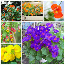 Dry Lotus Flower Seeds Indoor Outdoor Climbing Bonsai Potted Plant Tropaeolum Majus Semillas Water Lily Flowers Seeds 15 Pcs