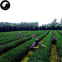 Buy Green Tea Tree Seeds 120pcs Plant Dong Ting Biluochun For Pi Luo Chun Cha(China)