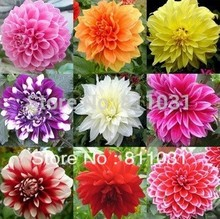 Hot selling 20pcs Dahlias Seeds bonsai flower seed DIY Home Garden free shipping(China)