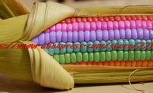 Rare Heirloom Sweet Rainbow Corn Hybrid Seeds, Professional Pack, 20 Seeds / Pack, Colorful Vegetable Corn Grain Cereals